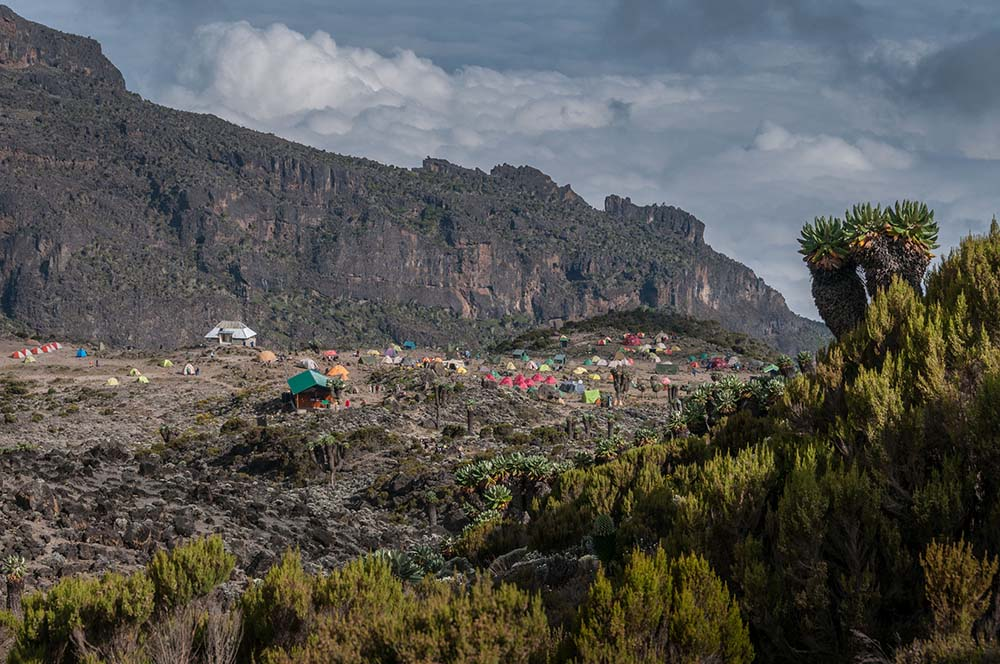 29483597 - the campsite at barranco with a number of large senecio trees in the foreground